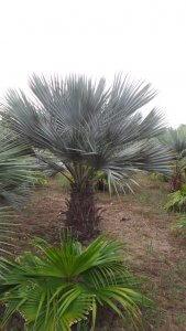 Diese Brahea armata kommt aus Nord Spanien und kennt -10 Grad
