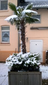 Palmen kaufen die im Winter ohne Winterschutz überleben.